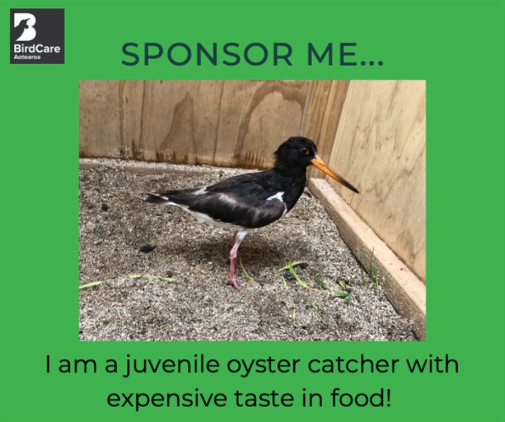 Oyster Catcher in his pen