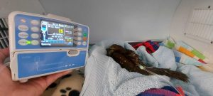 Ruru hooked up to infusion pump